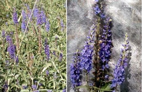 Вероника длиннолистая (Veronica longifolia)