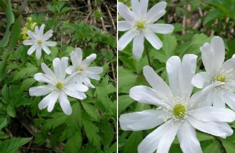 Ветреница алтайская (Anemone altaica)