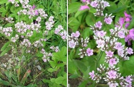 Кермек гмелина (Limonium gmelinii)