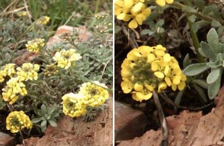 Крупкавечнозелёная (Draba aizoides)