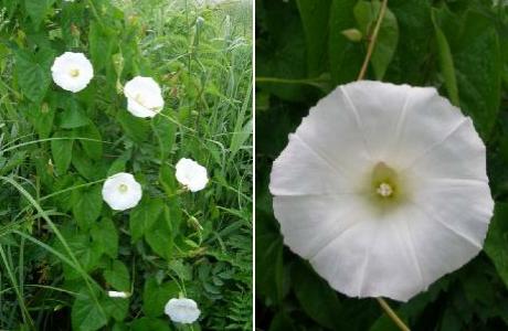 Повой заборный (Calystegia sepium)