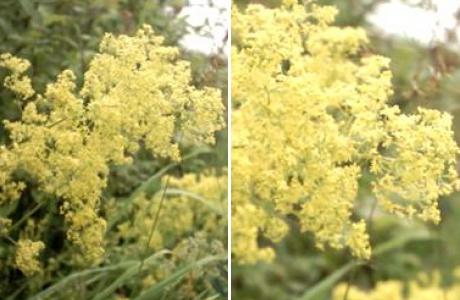 Подмаренник настоящий (galium verum) и северный (Galium boreale)