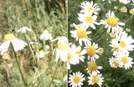 Ромашка аптечная (Matricaria chamomilla) и непахучая (Tripleurospermum inodorum)