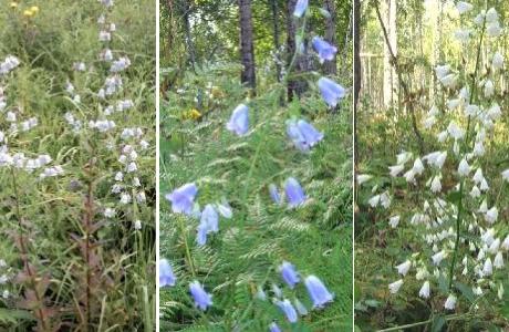 Бубенчиклилиелистый (Adenophora liliifolia)