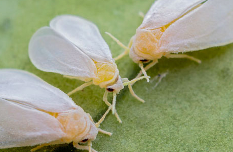 Как избавиться от белокрылки в саду