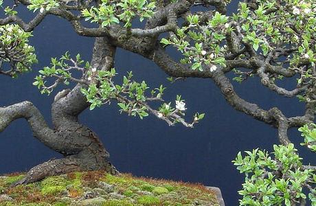Настоящее живое дерево бонсай