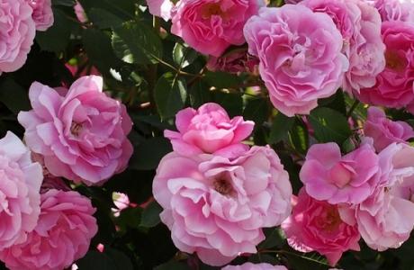 Многолетние цветущие кустарники для сада