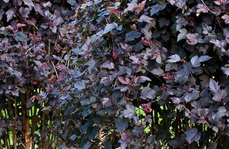 6 красивых декоративных кустарников для сада
