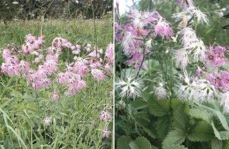 Гвоздика пышная (Dianthus superbus)