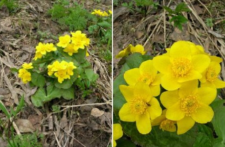 Калужница болотная (Caltha palustris)