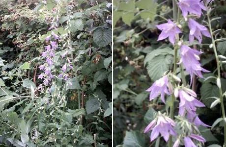 Колокольчик рапунцелевидный (Campanula rapunculoides)