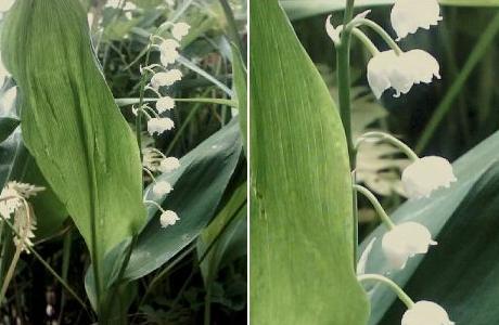 Ландыш майский (Convallariamajalis)