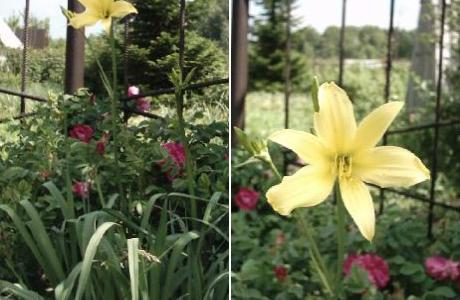 Лилейник, или красоднев жёлтый (Hemerocallis lilio-aspholelus = H. flava)