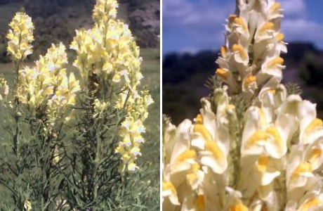 Льнянка обыкновенная (Linaria vulgaris)