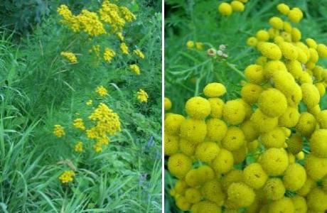 Пижма (Tanacetum vulgare)