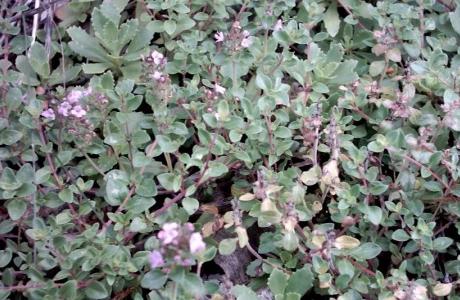 Тимьянсибирский (Thymus sibiricum)