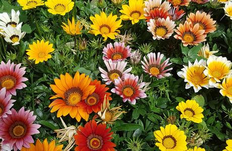 Гацания: как сеять и ухаживать