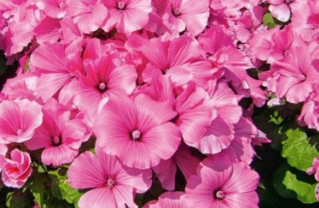Лаватера: выращивание, посадка семян и рассады, уход за растением