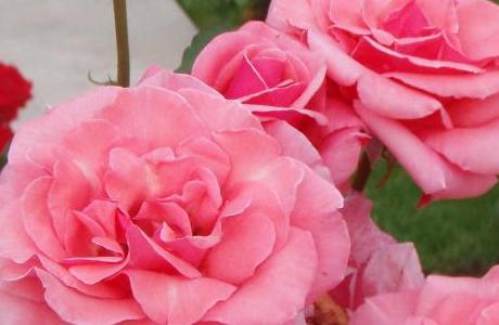 Учимся ухаживать за розами