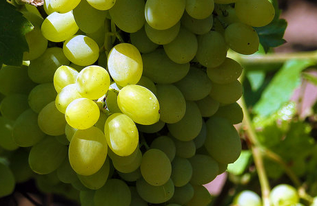 Как выбрать саженцы винограда