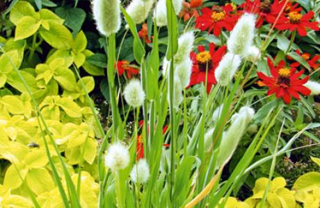 Лагурус: выращивание, посадка семян и рассады, уход за растением
