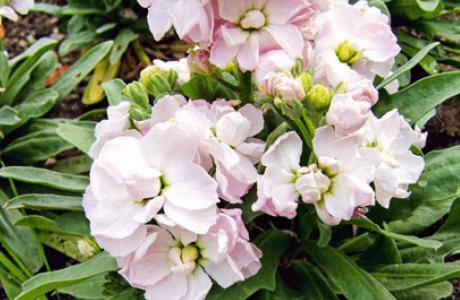 Левкой, маттиола: выращивание семян и рассады, уход за растением