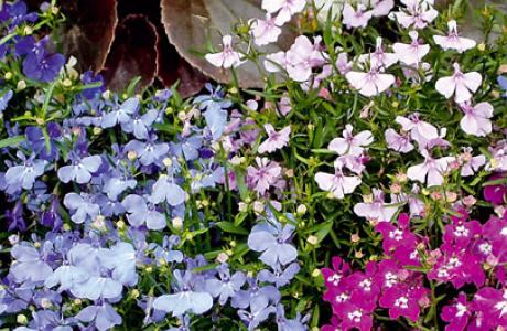 Лобелия: выращивание семян и рассады, уход за растением