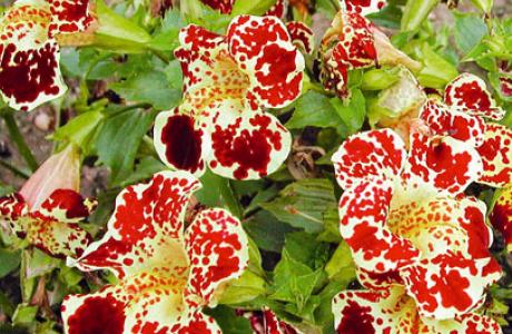 Мимулюс: выращивание семян и рассады, уход за растением