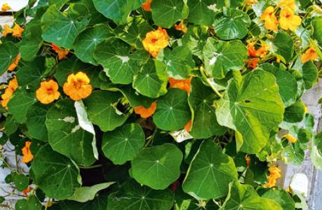 Настурция: выращивание семян и рассады, уход за растением