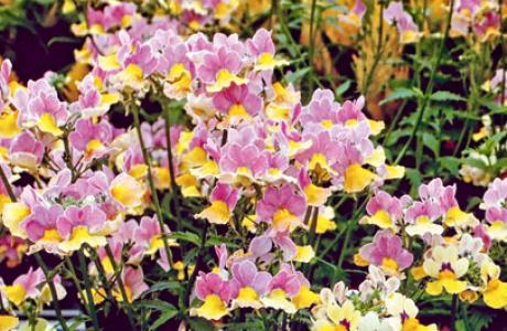 Немезия: выращивание семян и рассады, уход за растением
