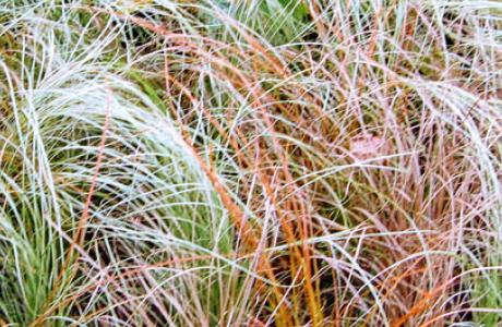Осока, карекс: выращивание семян и рассады, уход за растением