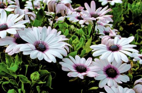 Остеоспермум: выращивание семян и рассады, уход за растением