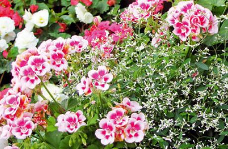 Пеларгония: выращивание семян и рассады, уход за растением