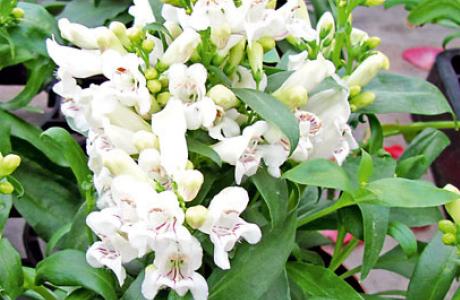 Пенстемон: выращивание семян и рассады, уход за растением
