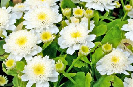 Пиретрум: выращивание семян и рассады, уход за растением