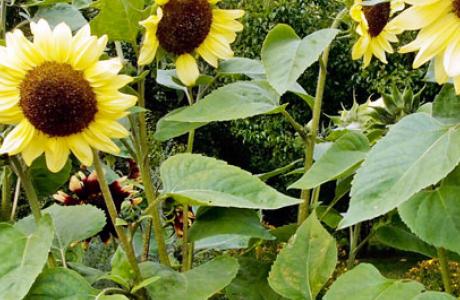 Подсолнечник: выращивание семян и рассады, уход за растением