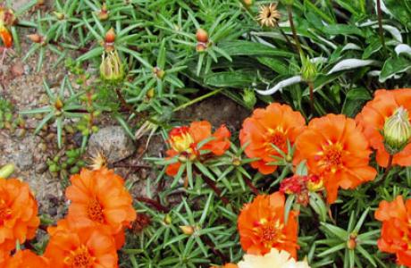 Портулак: выращивание семян и рассады, уход за растением