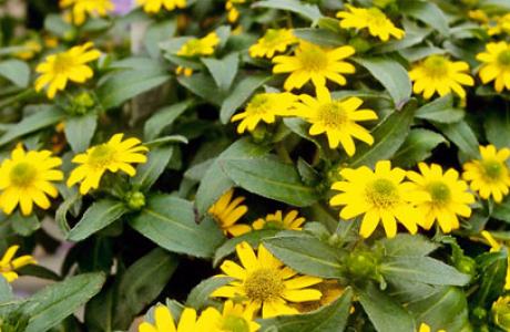 Санвиталия: выращивание семян и рассады, уход за растением