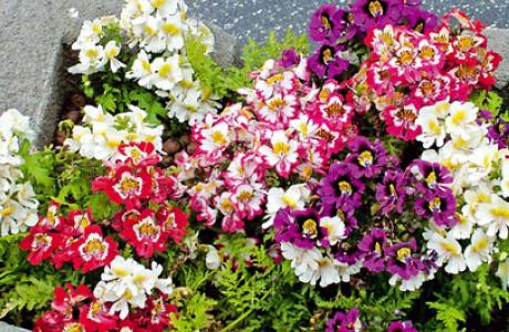 Схизант: виды и сорта, выращивание и уход за растением