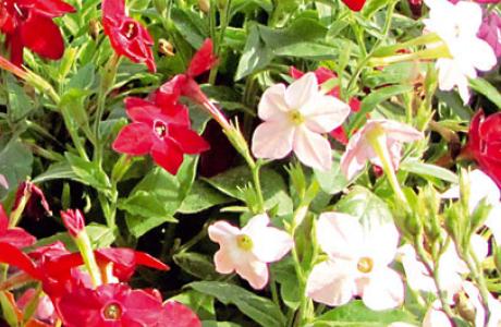 Табак: виды и сорта, выращивание и уход за растением