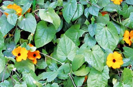 Тунбергия: виды и сорта, выращивание и уход за растением