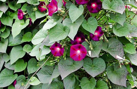 Фарбитис: виды и сорта, выращивание и уход за растением