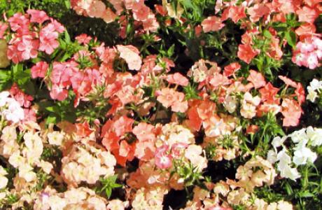Флокс: виды и сорта, выращивание и уход за растением