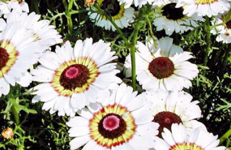 Хризантема: виды и сорта, выращивание и уход за растением