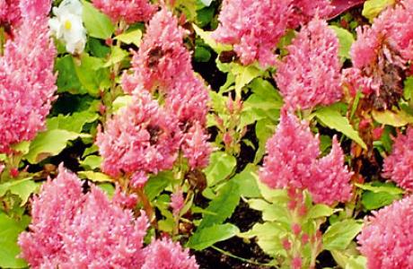 Целозия: виды и сорта, выращивание и уход за растением