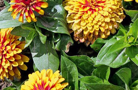 Цинния: виды и сорта, выращивание и уход за растением