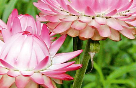 Гелихризум, или цмин (Helichrysum)