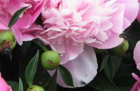 Выращивание пионов: как сажать и ухаживать за цветами пиона