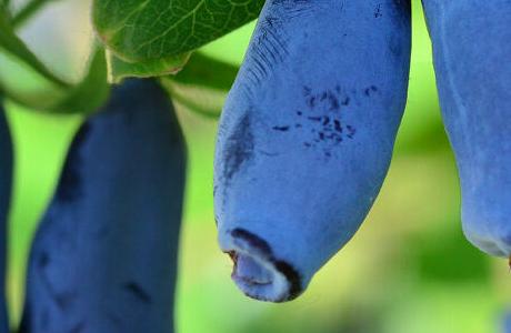 Жимолость: покупка саженцев для сада и особенности ухода за растением